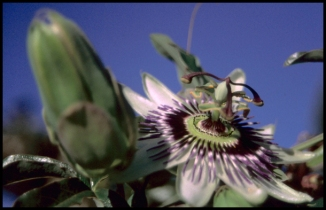 CROATIE Fleur de la passion Zadar