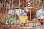 HONGKONG Marche aux oiseaux septembre 2007