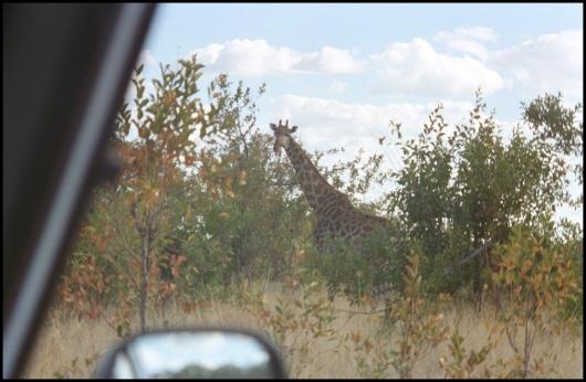 ZIMBABWE Girafe Mana Pools NP 1996