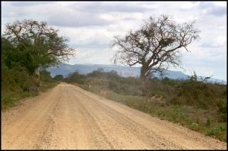 ZIMBABWE Zebres et impalas Mana Pools NP 1996