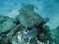 hawaii-recif-aux-tortues-turtle-town-makena-maui