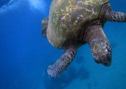 hawaii-tortue-en-plongee-turtle-town-maui