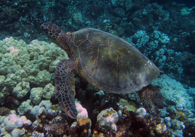 hawaii-tortue-honolua-bay-big-island