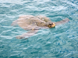 hawaii-tortue-respire-a-la-surface-turtle-town-maui