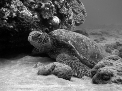 hawaii-tortues-turtle-town-maui
