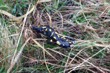 SUISSE Salamandre Monte Generoso 2017